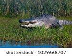 Myakka State Park Alligator