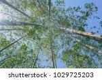 tall trees rising skyward... | Shutterstock . vector #1029725203