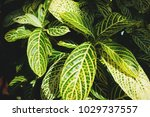 yellow and green sanchezia... | Shutterstock . vector #1029737557