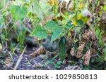 the last crop of cucumbers in... | Shutterstock . vector #1029850813