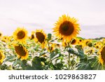 sunflowers on the field | Shutterstock . vector #1029863827