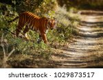 royal bengal tiger pose with... | Shutterstock . vector #1029873517