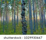 sunny autumn pine forest with...   Shutterstock . vector #1029930667