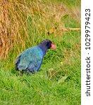 Small photo of South Island takahe, New Zealand