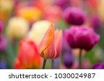 orange tulip on a multicolor... | Shutterstock . vector #1030024987