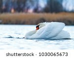 mute swan swims in the morning... | Shutterstock . vector #1030065673