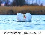 royal white bird floating along ... | Shutterstock . vector #1030065787