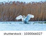 white swan revealing wings... | Shutterstock . vector #1030066027