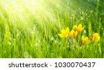 sunshine on crocuses in meadow | Shutterstock . vector #1030070437