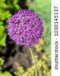 Small photo of Giant Allium (Allium Globemaster)