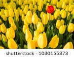 One Red Tulip Among A Set Of...