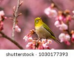 the japanese white eye.the... | Shutterstock . vector #1030177393