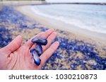 Three Blue Jelly Fishs  ...