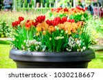Pot Of Tulips  Daffodils  Grap...