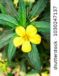 Small photo of damiana flower with green leaves