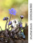 Small photo of Anemone americana,Hepatica nobilis