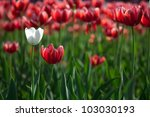 white tulip on the red tulips... | Shutterstock . vector #103030193