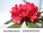 Rhododendron Arboreum Subsp....