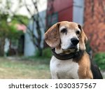 Stock photo portrait of beagle close up beagle is sitting in front of the house and waits for his boss 1030357567