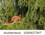 lateral view of a eurasian red... | Shutterstock . vector #1030427347