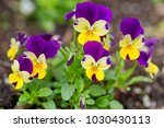 pretty violas flowering in the... | Shutterstock . vector #1030430113