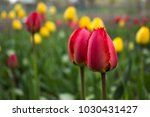 red tulips with fringed petals... | Shutterstock . vector #1030431427