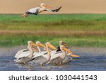 white pelicans  pelecanus... | Shutterstock . vector #1030441543