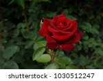 red rose on a branch with green ... | Shutterstock . vector #1030512247