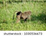 baboon baby in the serengeti  | Shutterstock . vector #1030536673