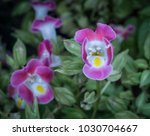 Small photo of Pink torenia flower