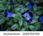 Small photo of Blue torenia flower