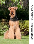Small photo of Portrait of nice airedale terrier