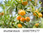 Mandarin Tree With Ripe Fruits...