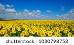 field of blooming sunflowers on ... | Shutterstock . vector #1030798753