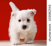 Stock photo white little dog in red background 103082543