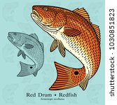 red drum  redfish. vector... | Shutterstock .eps vector #1030851823