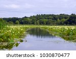 Small photo of American lotus (Nelumbo lutea) blooming at Great Meadows, Concord. Massachusetts. New England.