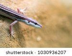 Small photo of Popular pet gecko, gecko a night active lizard
