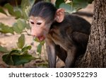 young chacma baboon sitting in... | Shutterstock . vector #1030952293