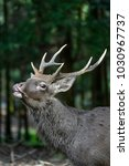 Small photo of japanese sika deer male roaring