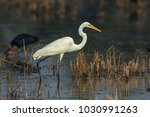 the great egret  also known as...   Shutterstock . vector #1030991263