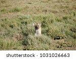 hyena in serengeti  tanzania | Shutterstock . vector #1031026663