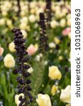 Small photo of Fritillaria persica Persian Lily in a mixborder with ivory colored tulips.