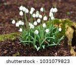 Small photo of Snowdrop Galanthus Hippolyta