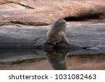 monkey drinking water in a... | Shutterstock . vector #1031082463