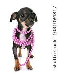 young chihuahua in front of... | Shutterstock . vector #1031094817