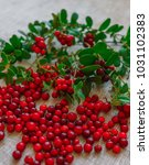 berries of red cowberry along... | Shutterstock . vector #1031102383
