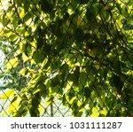 the leaf background. | Shutterstock . vector #1031111287