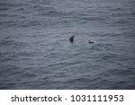 wild skua  antarctic peninsula  ... | Shutterstock . vector #1031111953