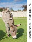 herd of free roaming semi feral ...   Shutterstock . vector #1031139073
